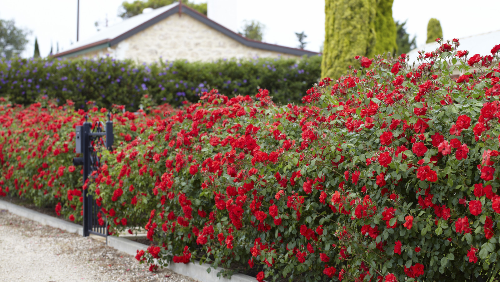 Paint The Town Red Shrub Roses